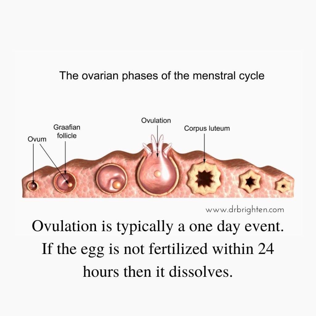fertile for 24 hours